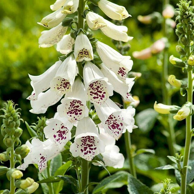 White silver bells, Upon a slender stalk Lilies of the valley deck my garden walk.  Oh don't you wish, that you could hear them ring? That will happen only when the faeries sing. 🧚🏽♀️🧚🏿♂️🧚🏽♀️🧚🏿♂️ Happy solstice and the blessings of Litha to you all! Did anyone else grow up singing this song? My sister and I used to sing it in rounds all the time. This morning the flowers, trees, insects, birds and unseen beings felt extra celebratory in my garden as I made offerings and said prayers. I feel like this is one of their favorite days and it felt like they were throwing me a little non voyage party as I get ready to leave for a month. 🌞🌳🌈🌼
