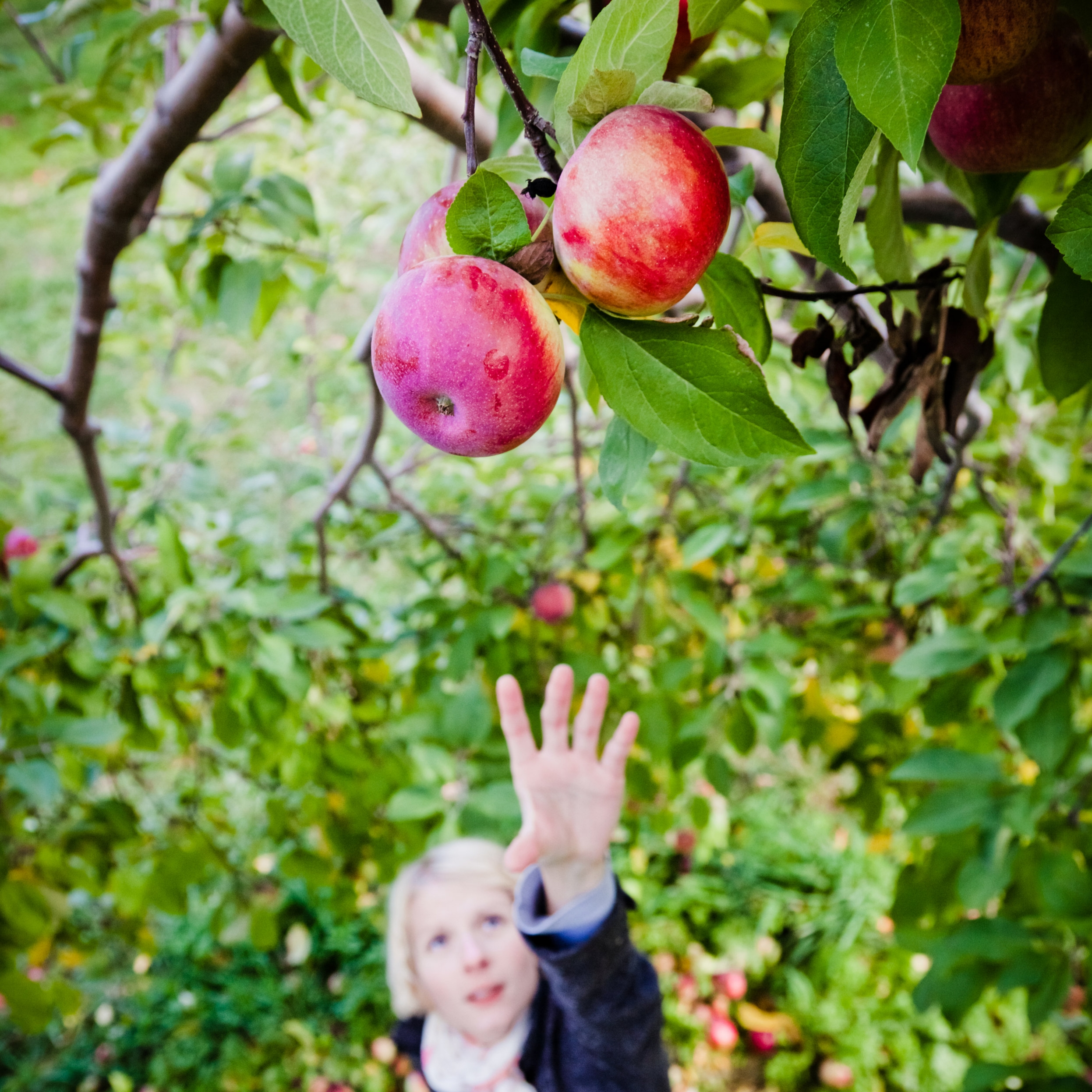 girl-reaching-for-a-branch-with-apples-PR5CAPZ.jpg