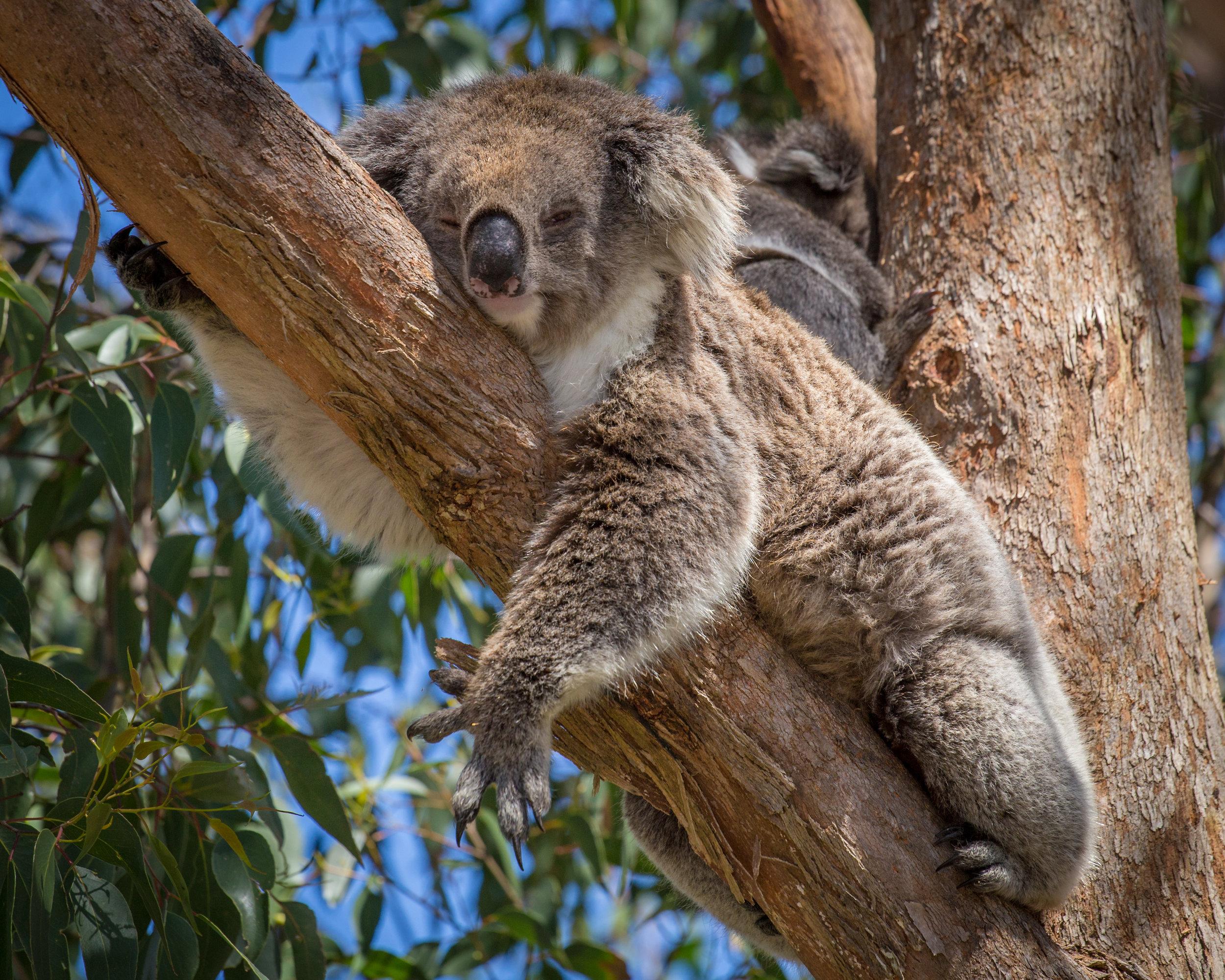 koala-in-tree-P74C5UP.jpg