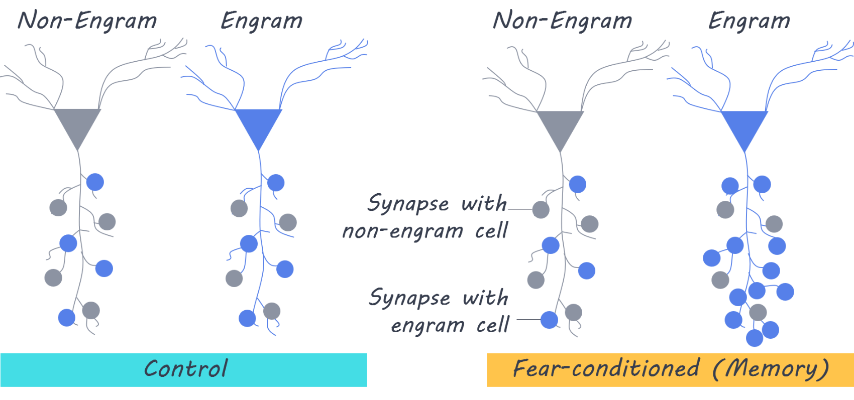 Memory is Dependent on Synapses Between Engram Cells — BrainPost | Easy-to-read summaries of the latest neuroscience publications