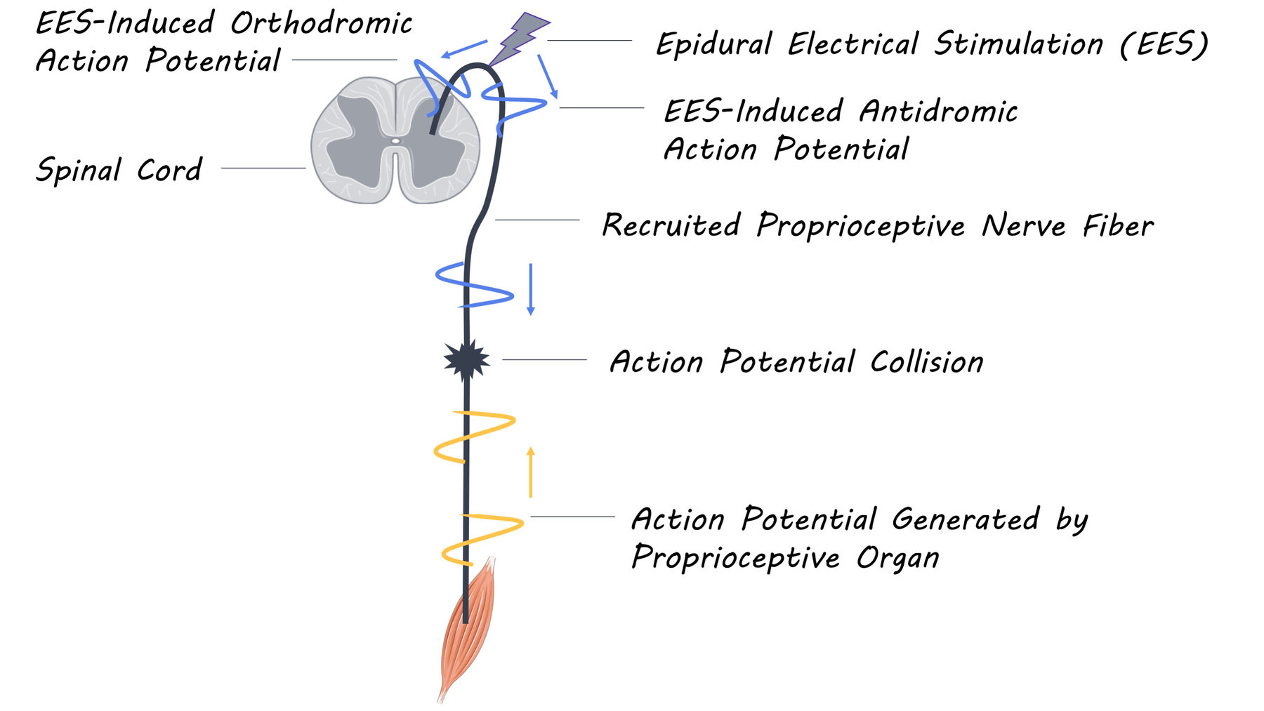 spinalcord_image.png