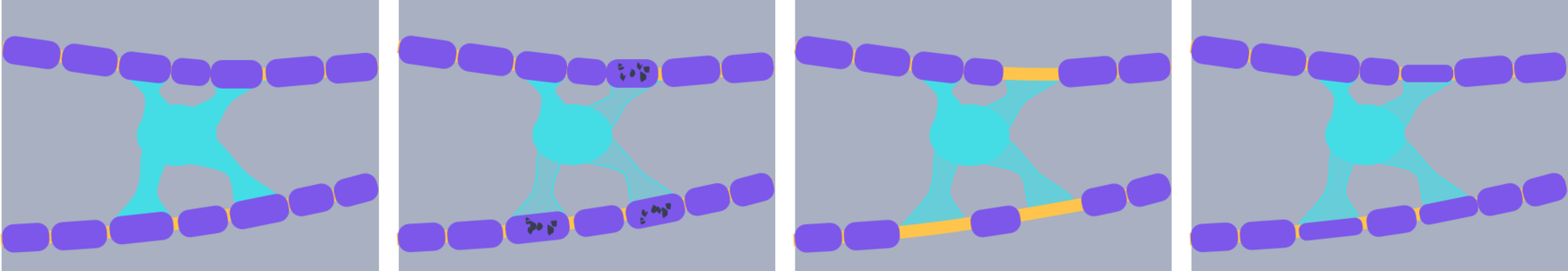 oligodendrocyte (1).png