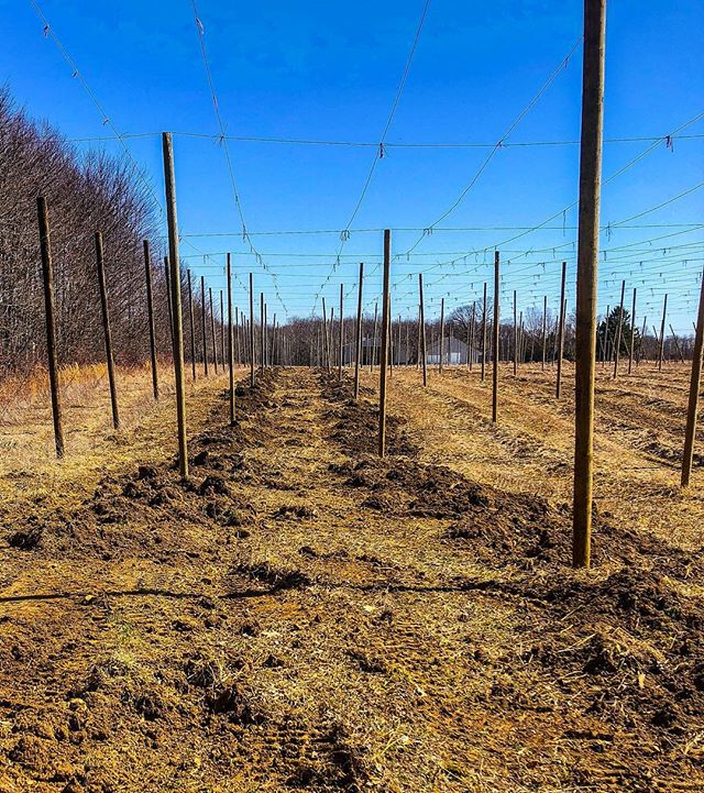 We removed our Willamette plants today !  It was a tough choice, but we felt that Willamette was not growing well enough in our climate/soil. Our number one priority is quality, and we did not believe that it would meet our standards. We will be replacing it with Zatecki Cerveni.. a Czech aroma variety !  #hops #hopfarm #craftbeer #craftbeerlover #agriculture #farming