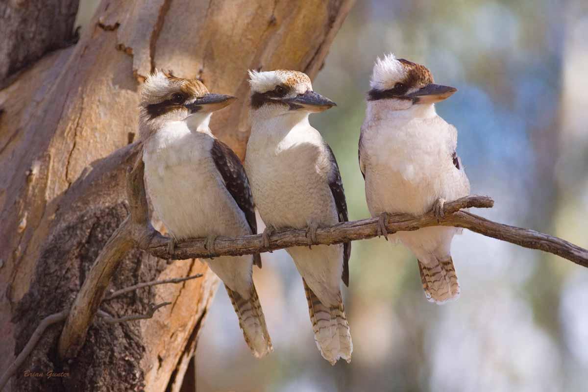 three-kookaburras.jpg