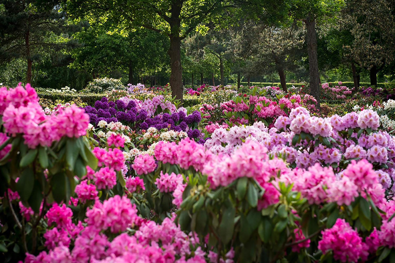 rhododendron-gesellschaft19.jpg