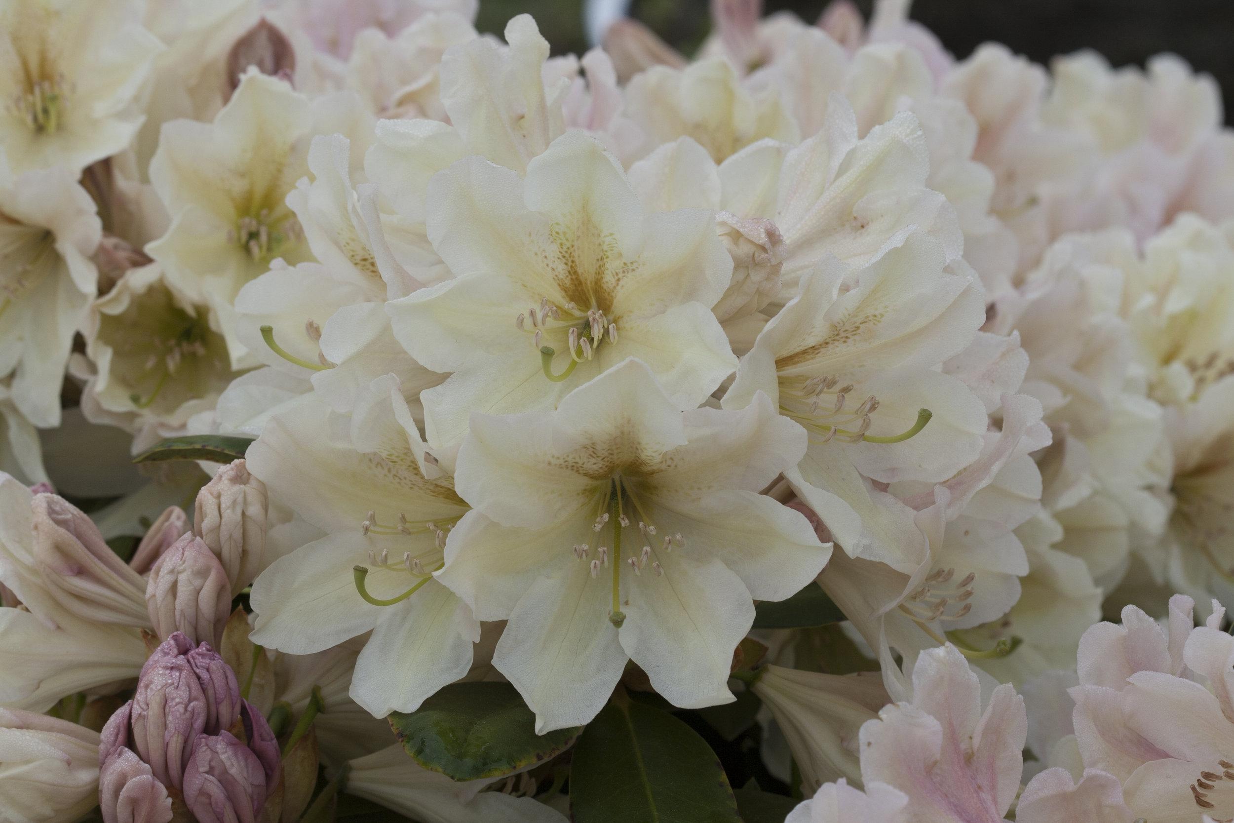 Rh. 'Rhodunter 149' (INKARHO Dufthecke lila)