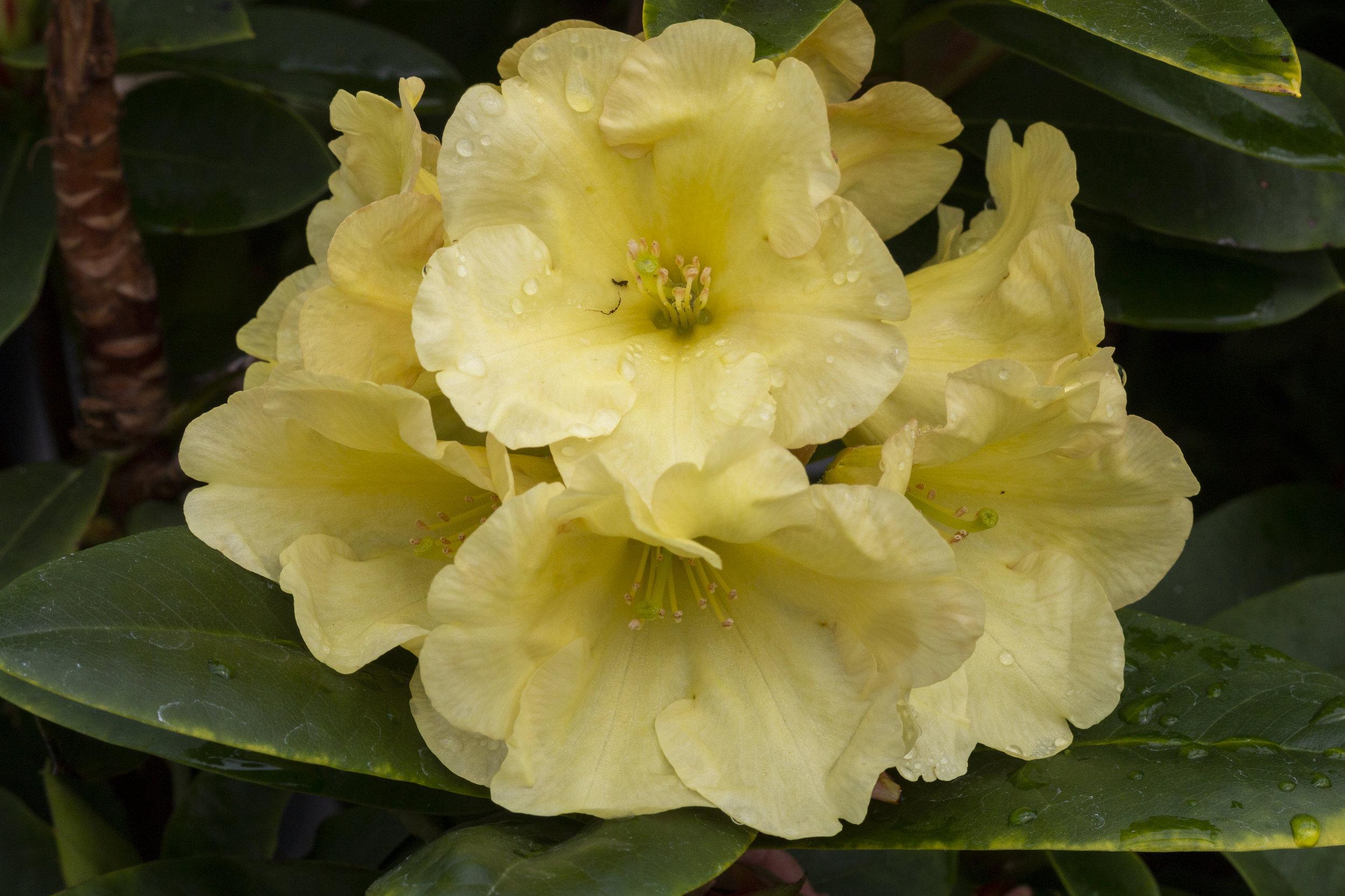 Rh. 'Junigold'