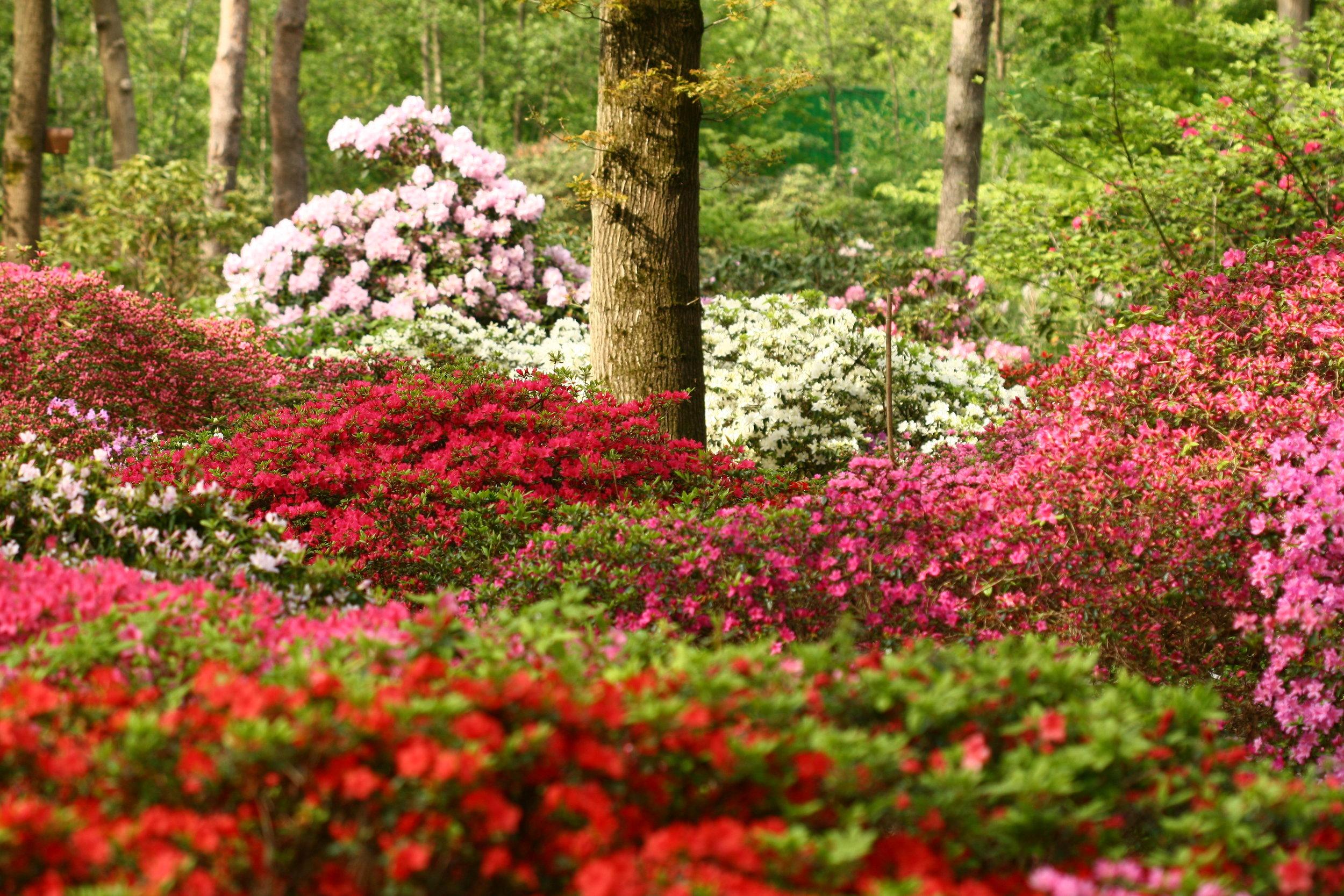 Japanische Azaleen im Rhododendron-Park Bremen