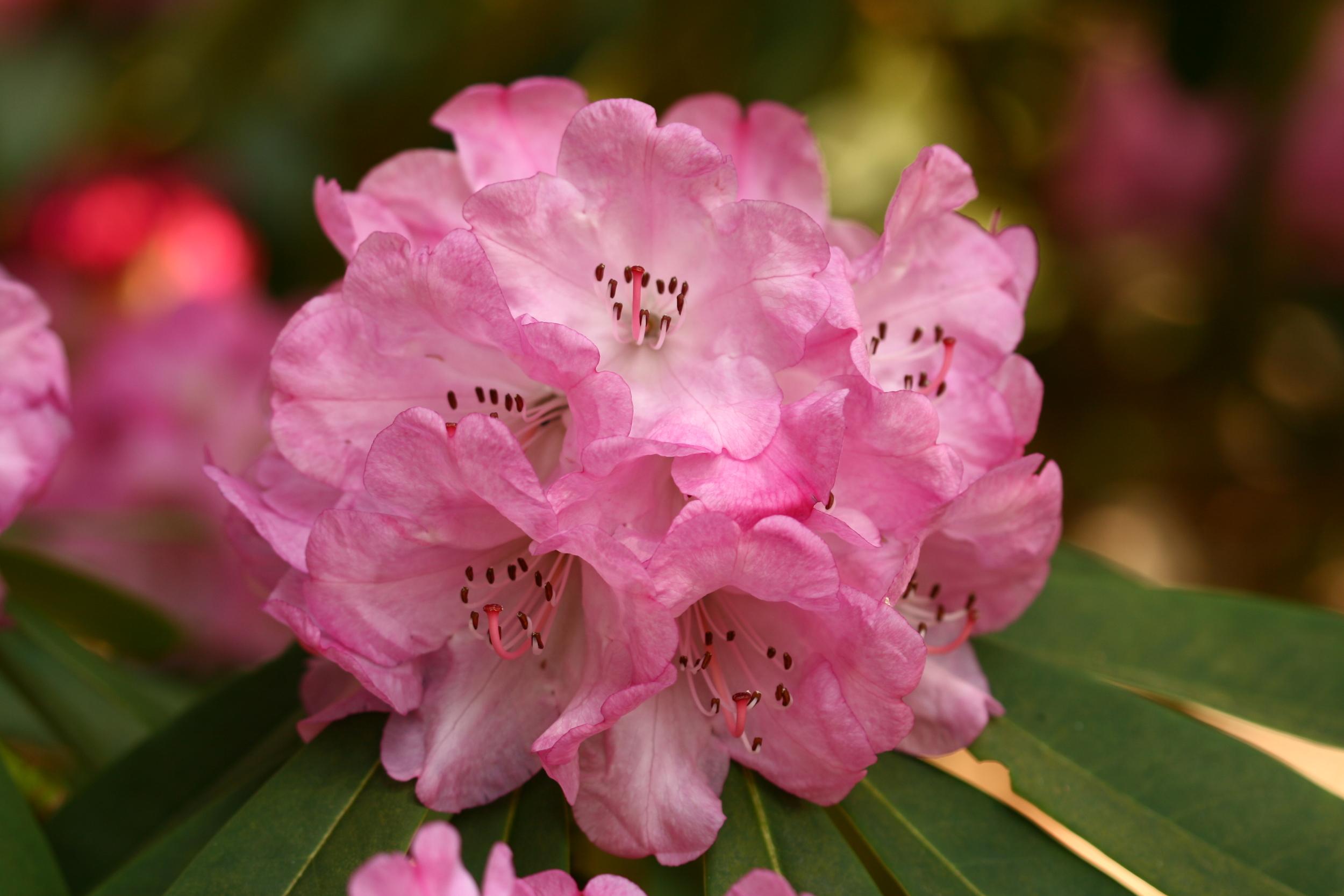 Berühmt Deutsche Rhododendron-Gesellschaft e.V. @AS_16