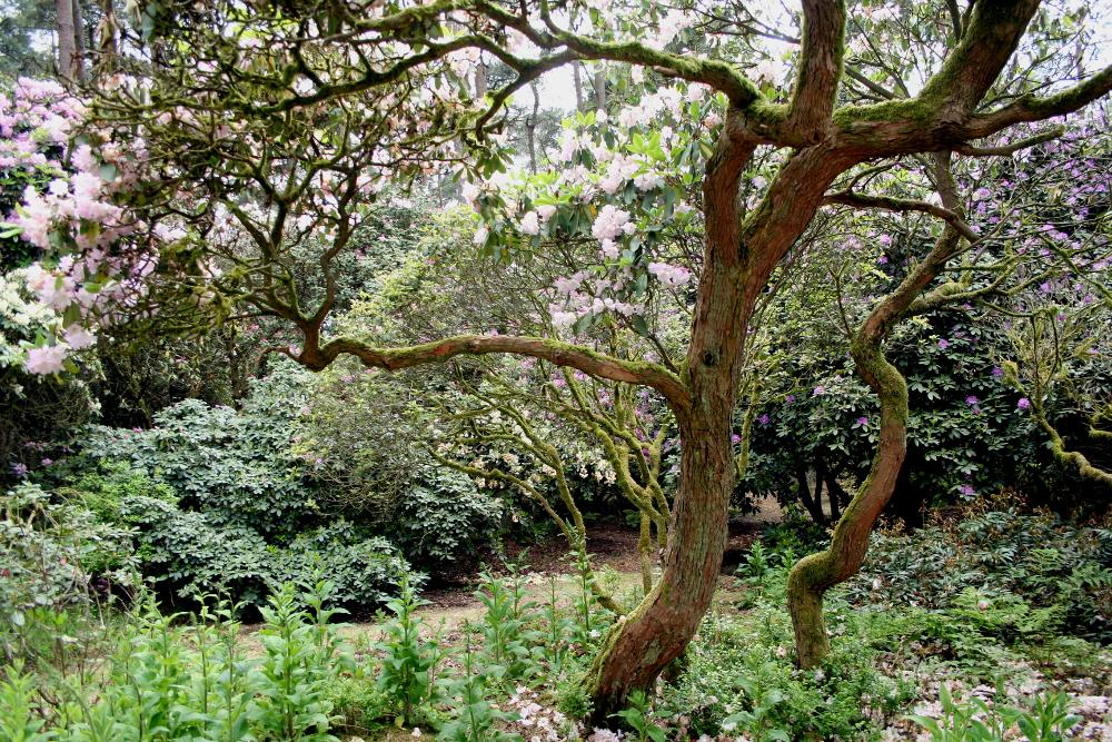 Vom Totholz befreite alte Rhododendron