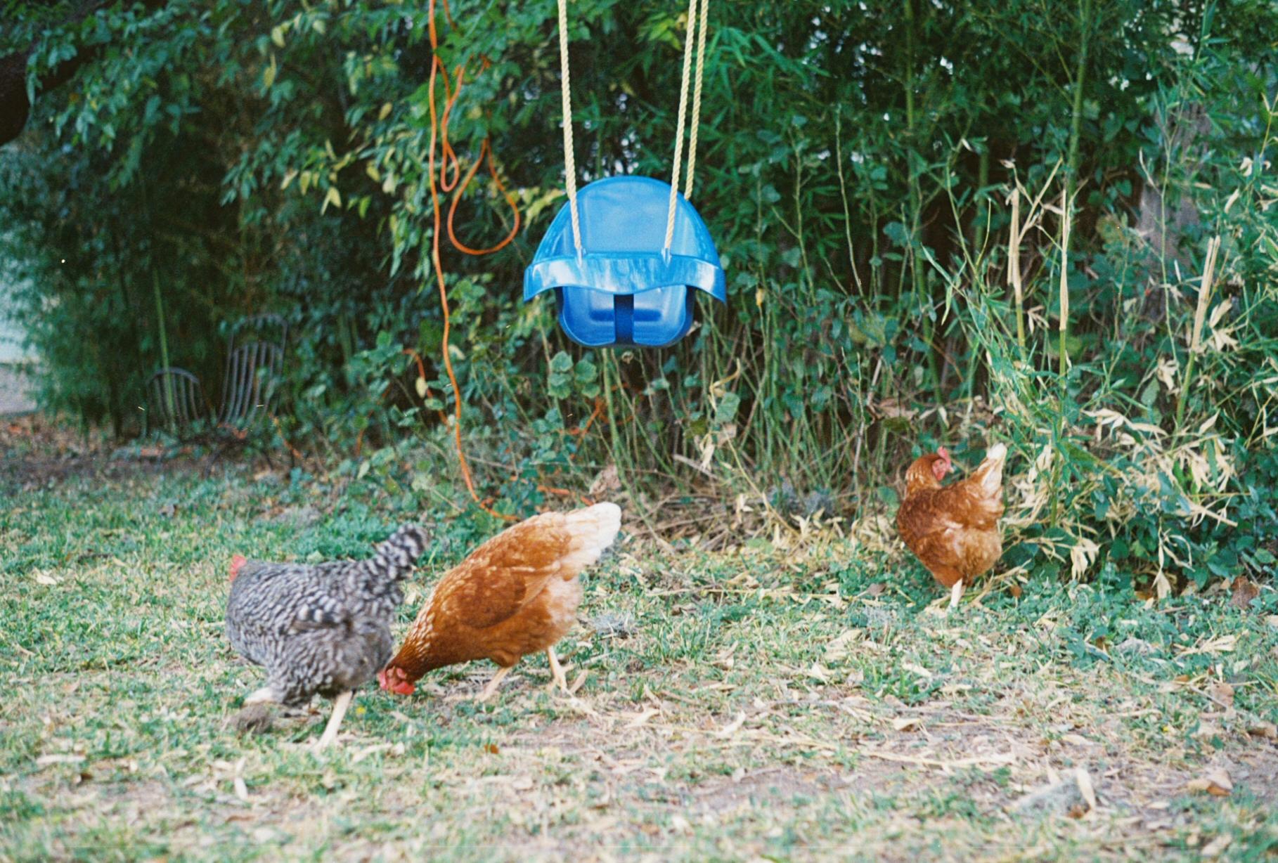 Chickens of Austin, TX
