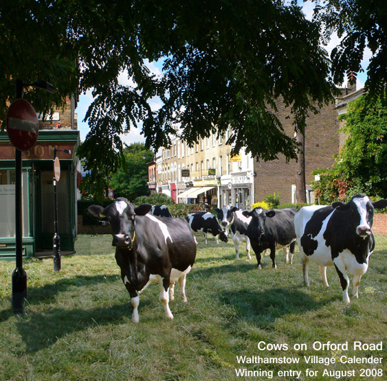 Cows on Orford Road, Walthamstow Village