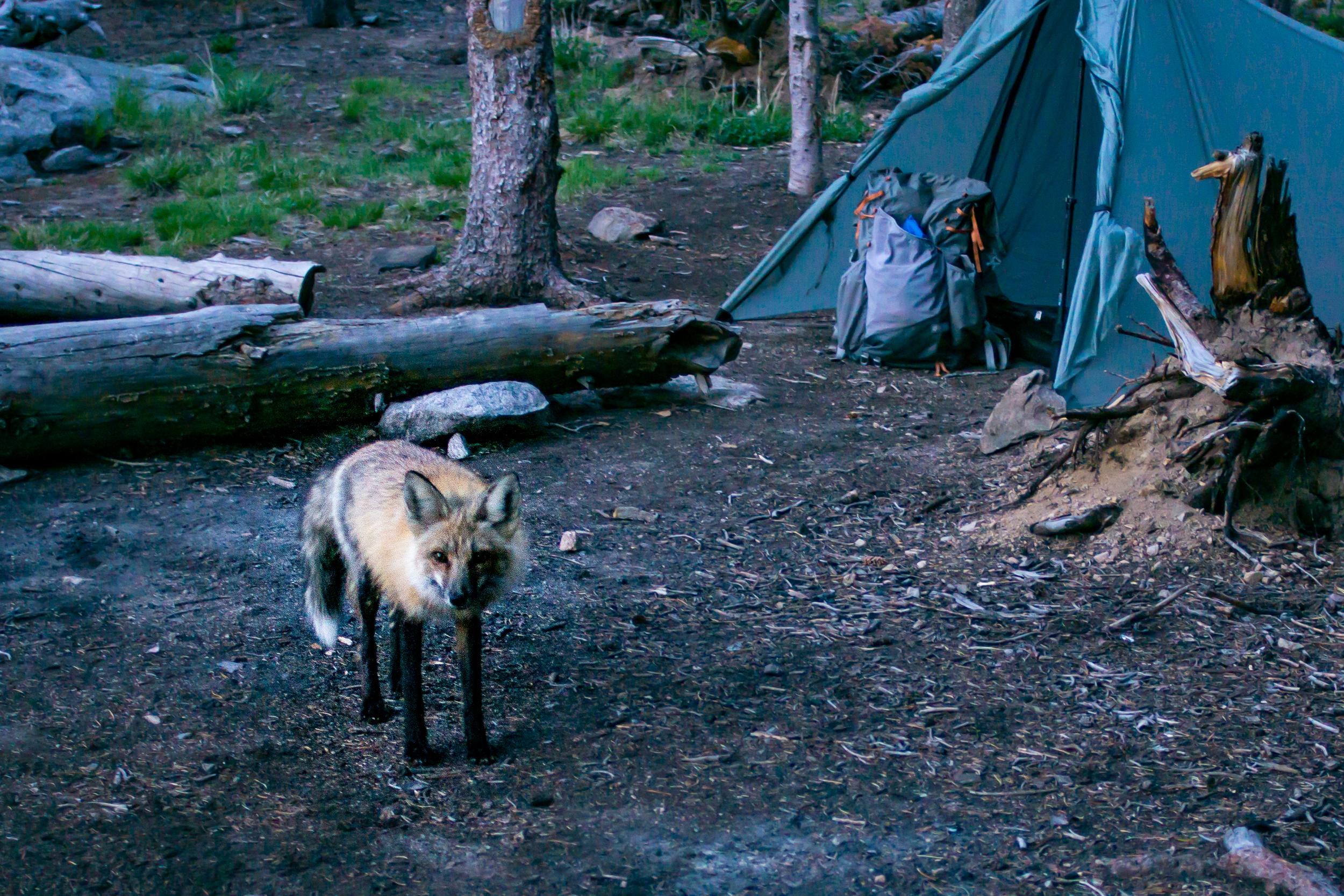 Fox friend at Lost Lake night 2