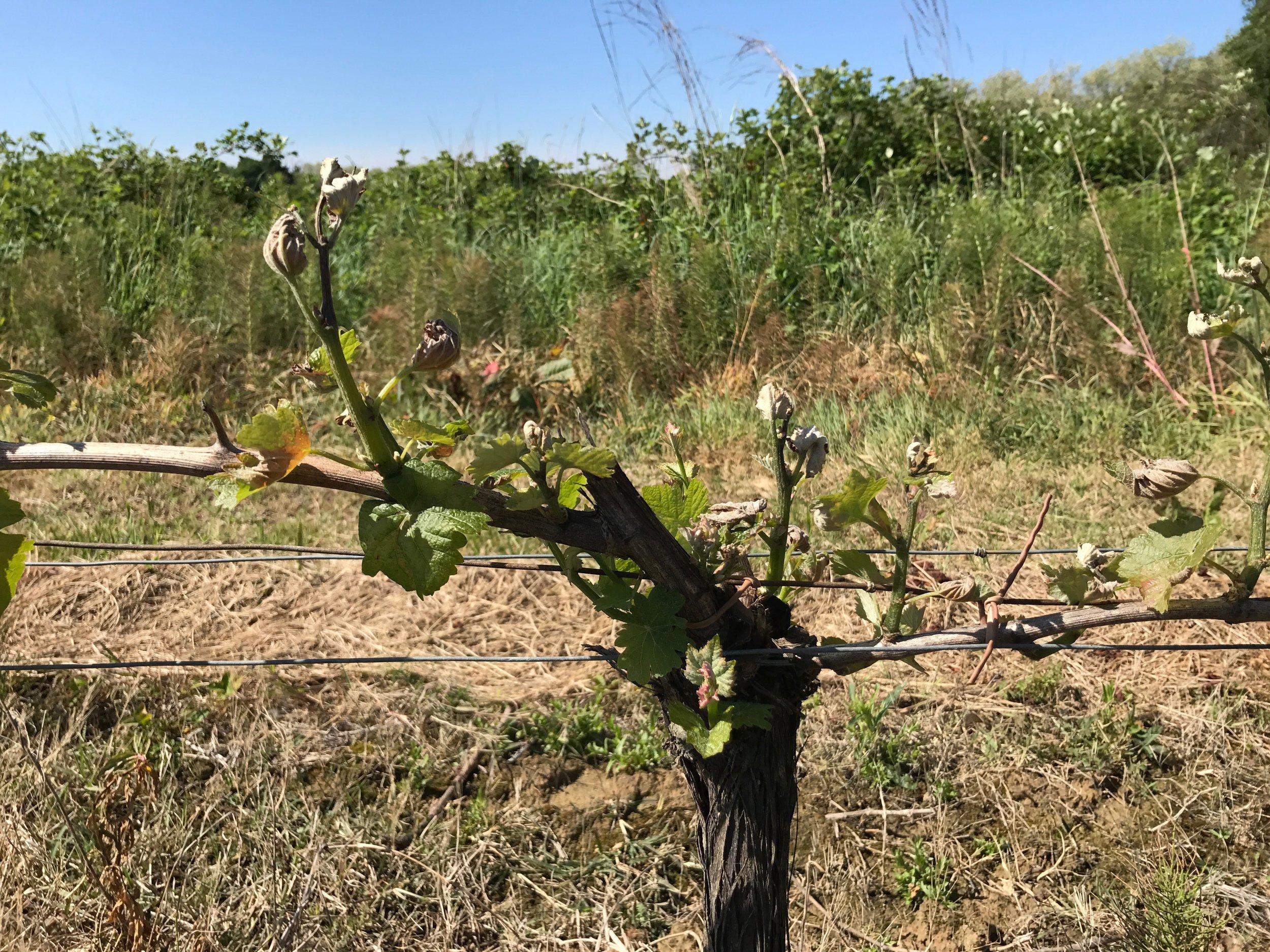 Pienet vauriot Sauvignon Gris -köynnöksessä hallan jälkeen vuonna 2017 - Sauvignon Gris with minor damages after the frost in 2017