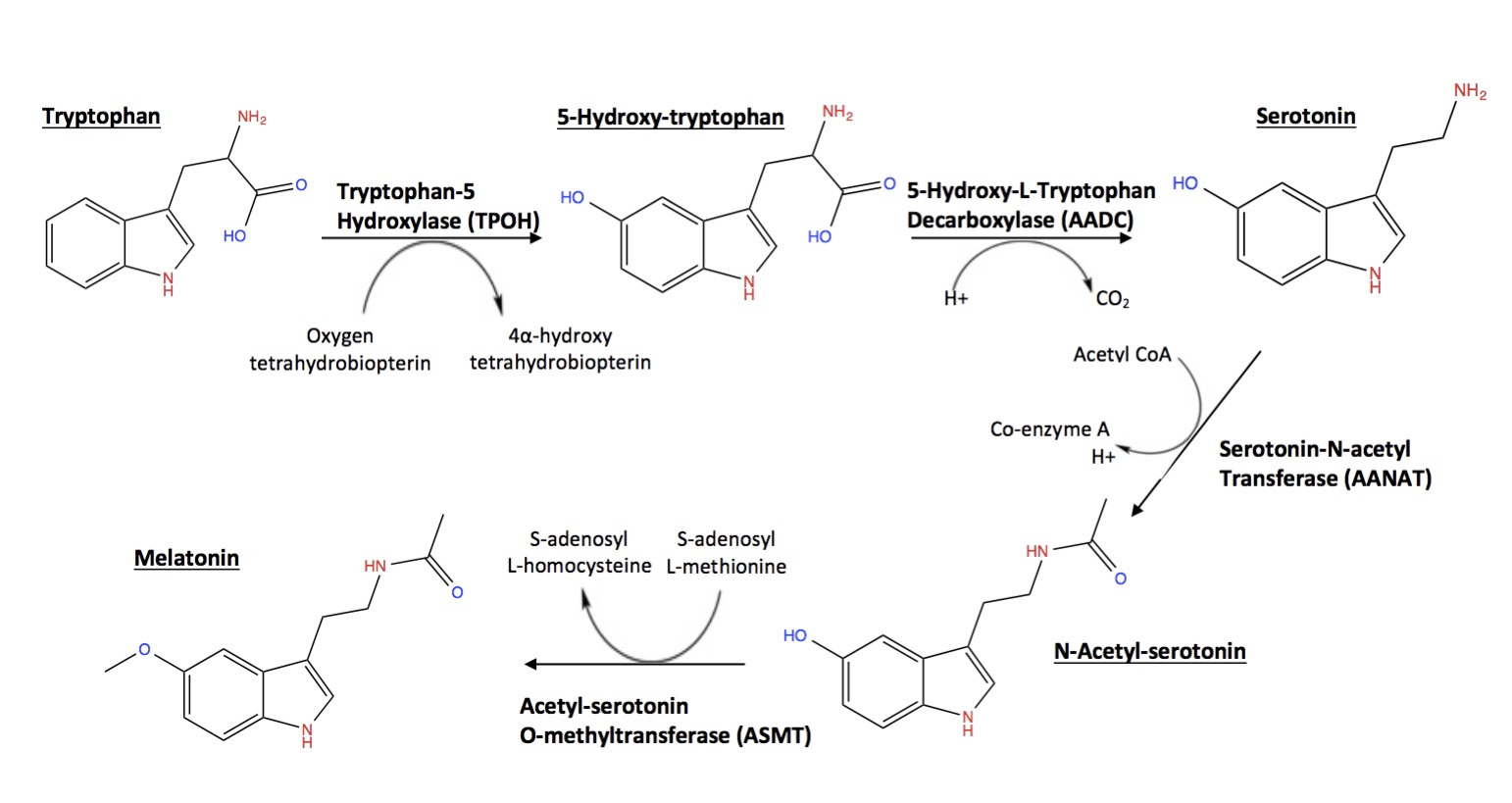 Melatonin Synthesis Pathway , A flowchart showing the synthesis pathway of melatonin from dietary tryptophan. Enzyme names are shown above reaction arrows, and co-factors as well.