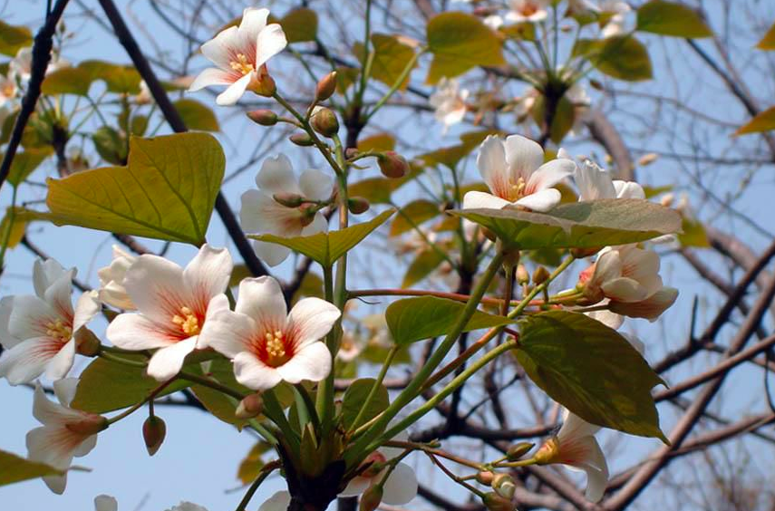 Ch 51 - Tung Tree Flowers.png