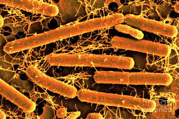 Lactobacillus acidophilus is a 'goodie': a bacteria you want more of. Image via:https://bit.ly/2Jmxx2K