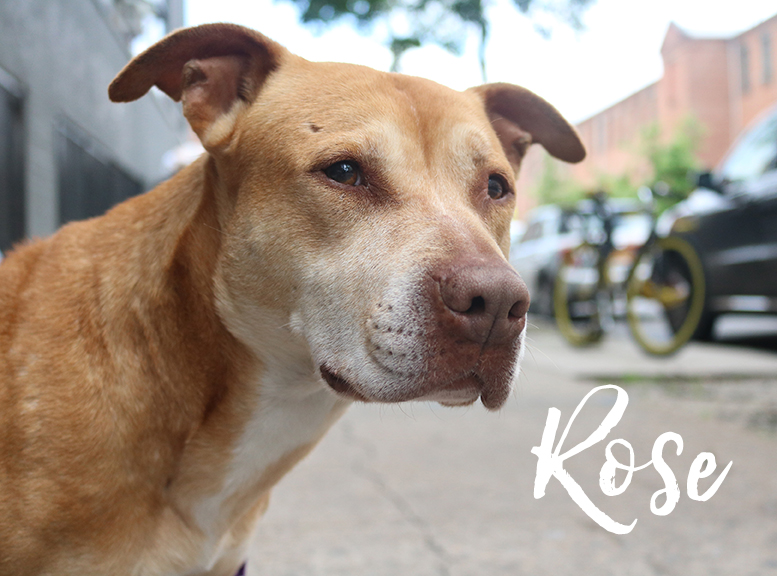 Rose is a glamorous Golden Girl, 8 years old, 46 lbs, dog-friendly, extremely sweet! Photo by Sarah Brasky @thedogmatchmaker -- ADOPTION PENDING
