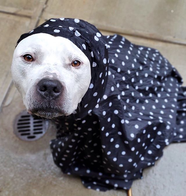 "Don't rain on his parade. ☔️He's totally *over* being homeless... and the rain. 😫 Baloo needs a home — foster or adopter! We've gotten some wonderful applications for him recently who sadly aren't the right fit since we found he's best as a solo dog for now. And his foster folks @pigpenthepittie have been there for him throughout this journey. • Repost @pigpenthepittie :: My favorite beluga whale needs a new foster home. It has been our privilege to care for him for the past month, but we are traveling this month and he needs somewhere to go. Ideally someone who can foster him until adopted. He's about 80-85 pounds of marshamallow love. He is absolutely wonderful with people. He is totally housetrained, and goes happily into his crate if you ask. He can be alone for 4-5 hours at a time and with a midday potty break has been fine with a normal work week schedule (though he'd love it if you're around more!). We are looking for a foster home (and/or forever home) without other dogs. He's made it clear that while he's fine being near other dogs, walking by them, etc. he is not comfortable interacting with them. I know this will be his greatest challenge, for a dog with everything against him already. A seniorish large pitbull type dog who would prefer to be your only pet. Who would want a dog like that? I can only hope there is someone out there who sees that the only thing bigger than his head is his heart and will love him for exactly who he is."" • PLEASE SHARE - help us help him!!! EMAIL info@fosterdogsnyc.com or apply to adopt :: bit.ly/adoptbaloo • Photos: @prodigypuppy • #seniorsunday #rainyweather #adoptme #fosterdogs #newjersey #connecticut #newyork #fosterdog"
