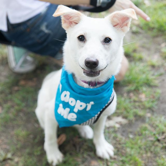Look at that smile! ☺️ #TooCuteTuesday • Amelia had a great time at our #PuppyParty last week in Central Park with Schrödinger, and now it's time for her to find a forever home of her own! 💓🐾 Rescued by @koreank9rescue, Amelia is a 7 month old, 20 lb #jindo mix. Shy at first, this sweet girl quickly warms up to both people and other dogs! Interested in adopting Amelia? COMMENT BELOW (tag a friend who will want this puppy!), and message @koreank9rescue to start the convo. 😍 • Photo: @putawoofovermyhead for @fosterdogs • #fosterdogs #fosterdogsnyc #fosteringsaveslives #adoptdontshop #puppiesofinstagram #jindosofinstagram #jindomix