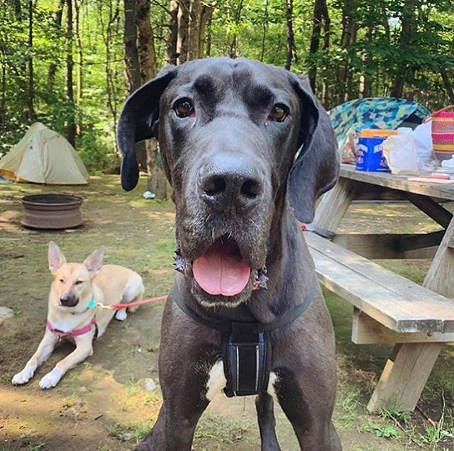 "Dwayne puts the GLAM in GLAMPING! ⁣ ⁣This guy::⁣ ⁣Good with dogs? ✔️⁣ ⁣Good with cats? ✔️⁣ ⁣Handsome AND huge? ✔️⁣ ⁣Wobbles when he walks? Sure, that too. 😘 • Adoptable Dwayne @therock from @rescuecity is a hunky 120 lb 3 year old ""lap dog"" #GreatDane. He has a condition called #wobblerssyndrome but is ""the sweetest most perfect big boy."" His rescuers confirm he does not need any surgery to correct the issue and is on supplements to help support his joints and keep his walking steady. ""He enjoys walks and the dog park but a home without a lot of stairs will be best fit for him. He's excellent in the home, affectionate, well mannered and potty trained. He's super sweet and gentle with children, dogs and cats - is currently fostered with 🐱+🐶s and would love to live with some furry playmates. There's nothing he'd love more than a forever human or family to just curl up beside!"" Please share Dwayne and lets help this big boy find the forever home he deserves. Contact @rescuecity & COMMENT BELOW if you want Dwayne!!! ⁣ ⁣⁣ ⁣#adoptme #nyc #blackdog #bigdog #adoptdontshop #fosteringsaveslives #newyork #dogsofnyc #fosterdogs #fosterdogsinc"