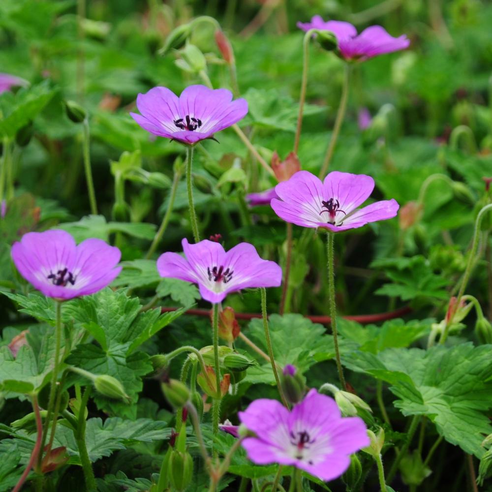 Geranium wallichianum Sylvia's Surprise