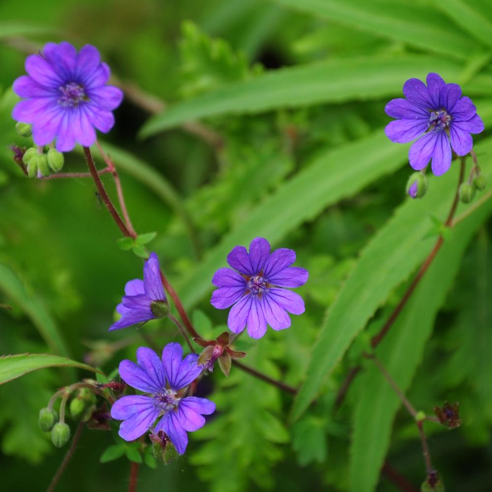 Geranium pyrenicum Bill Wallis
