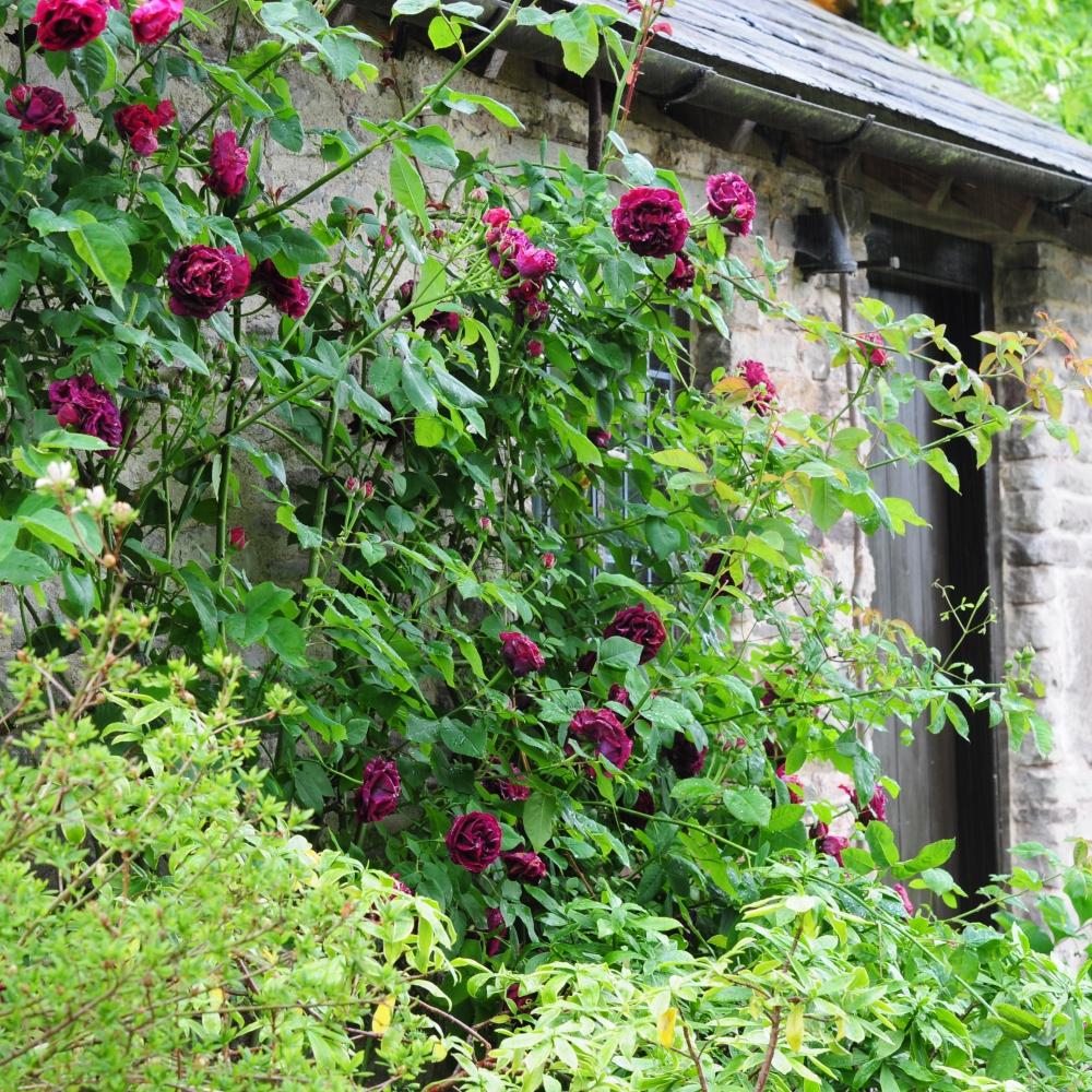 Allt-y-bela Climbing Rose 1 Arthur Road Landscapes.jpg