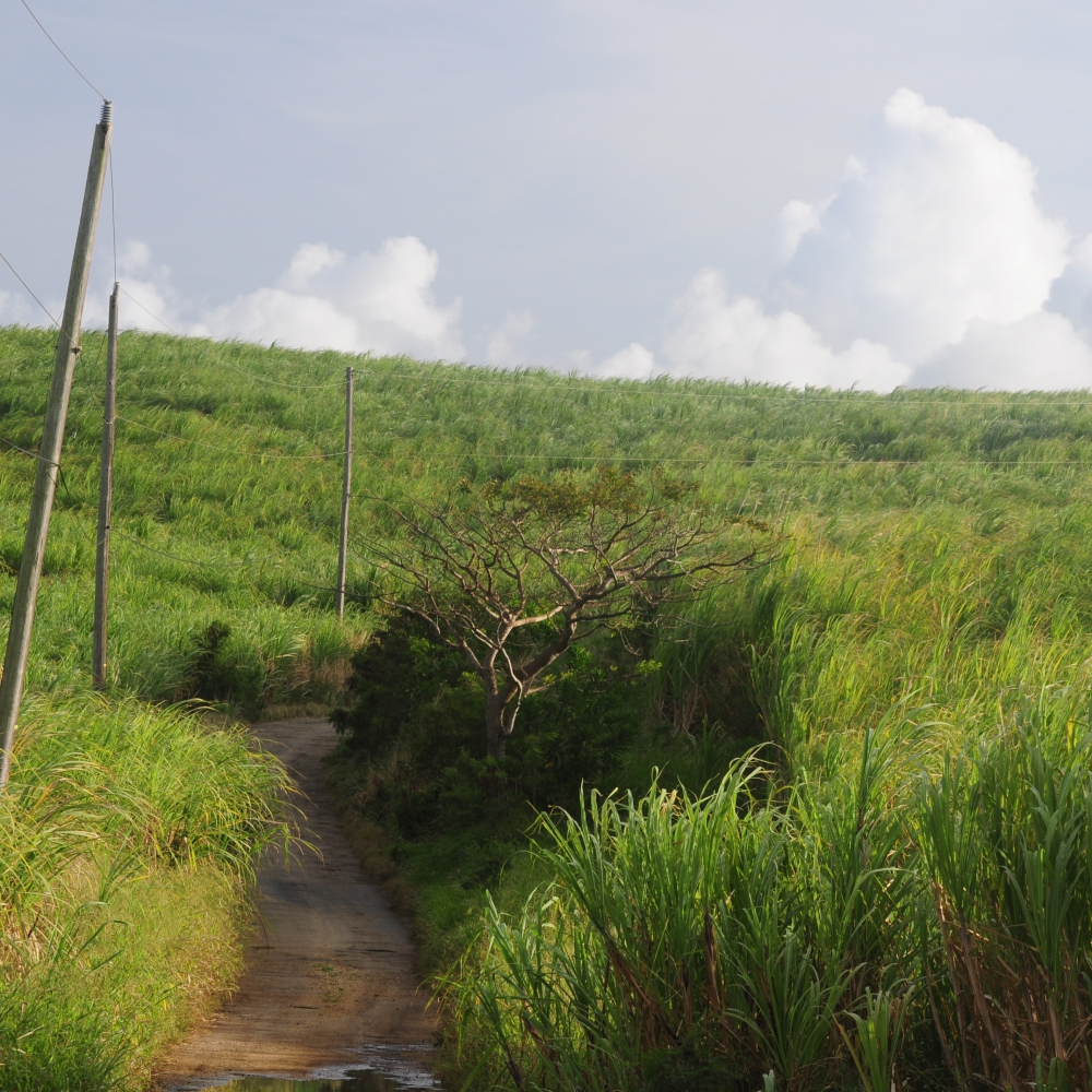 Cane fields Barbados Arthur Road Landscapes.jpg