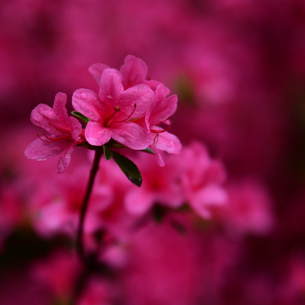 Pink Azalea Arthur Road Landscapes.jpg