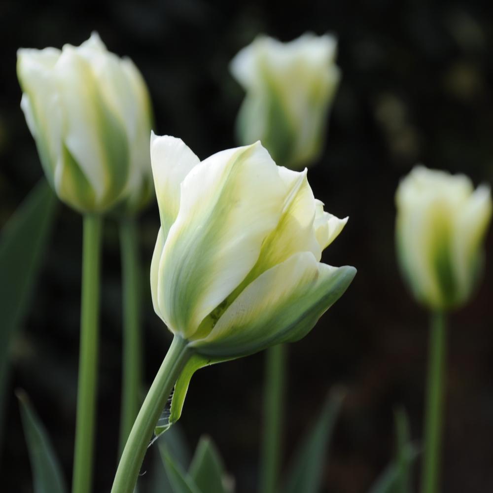 Tulipa Spring Green Arthur Road Landscapes.jpg