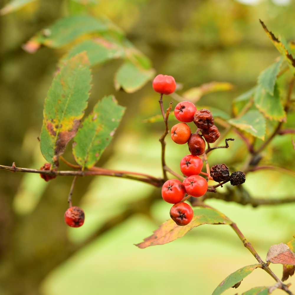 Sorbus berries Arthur Road Landscapes.jpg