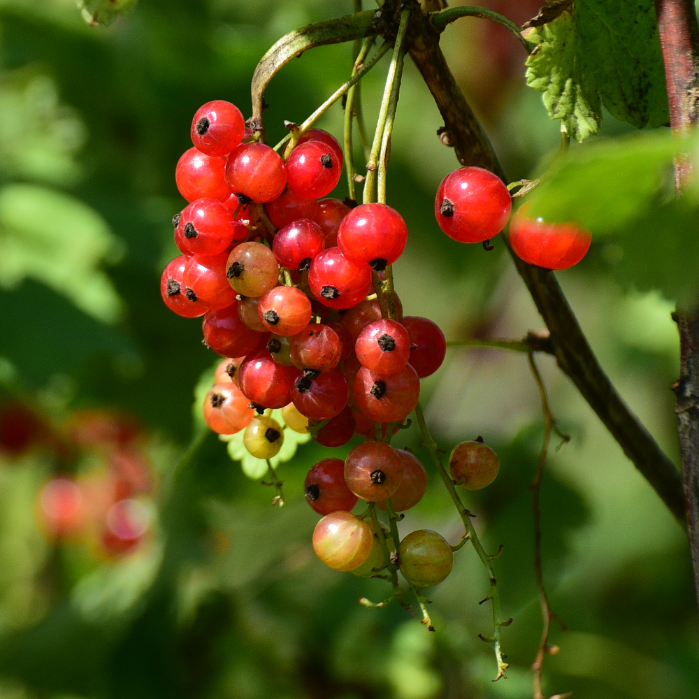 Redcurrants G&G Flower Farm Arthur Road Landscapes.jpg