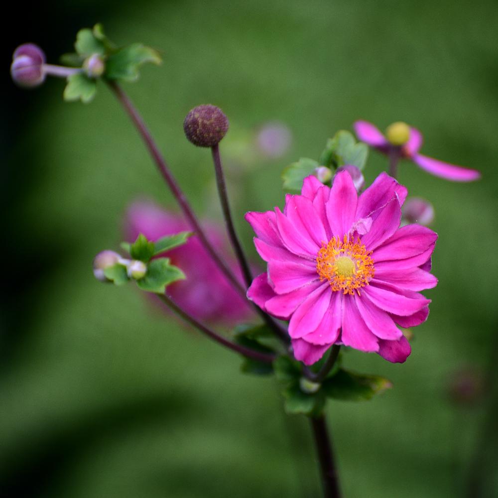 Anemone hupehensis Pamina