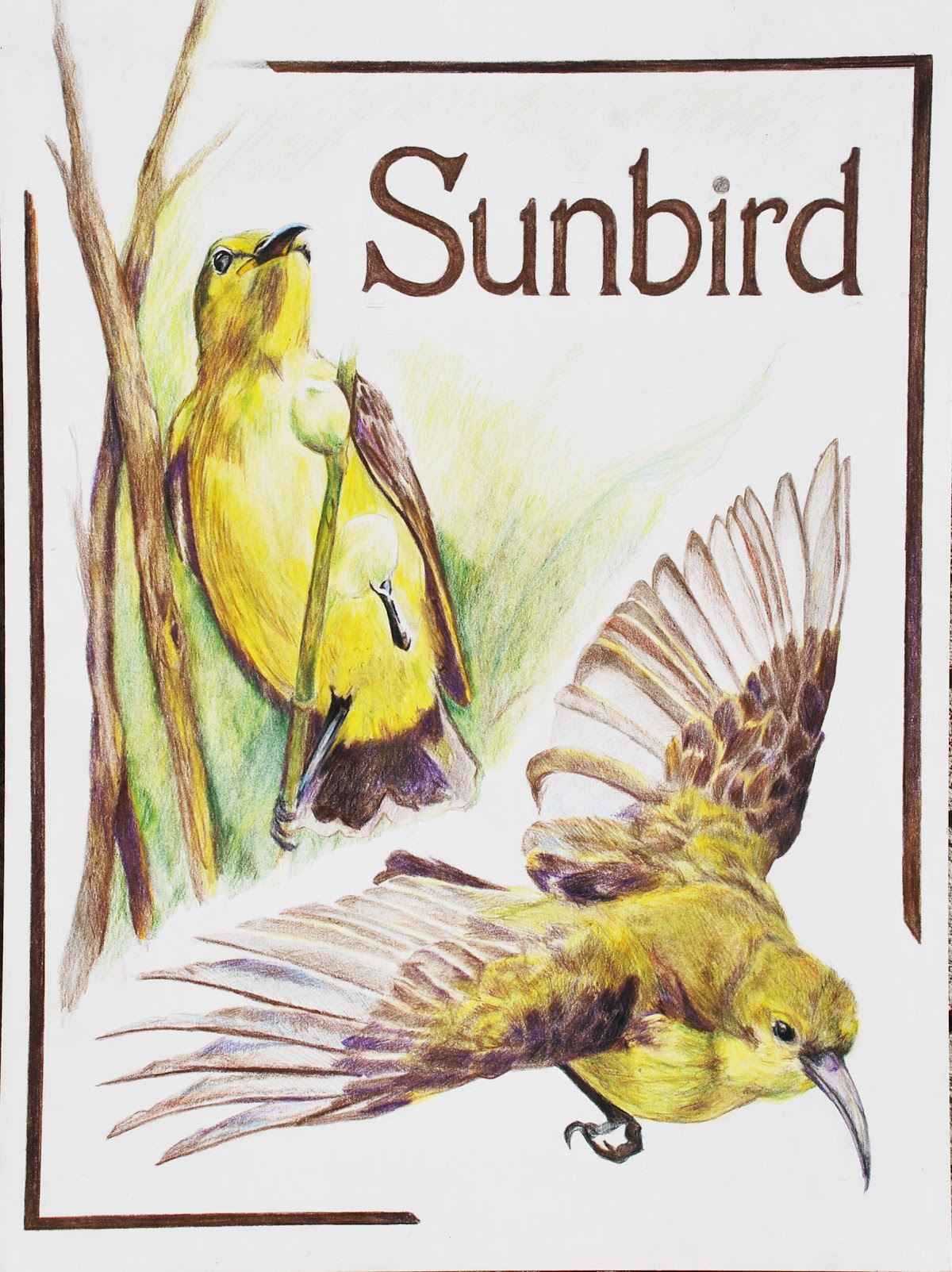Sunbird Illustration.