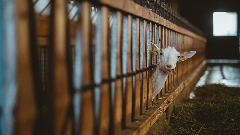 0012-reportage photo-ferme-fromage-la caprovine-20180815154503.jpg