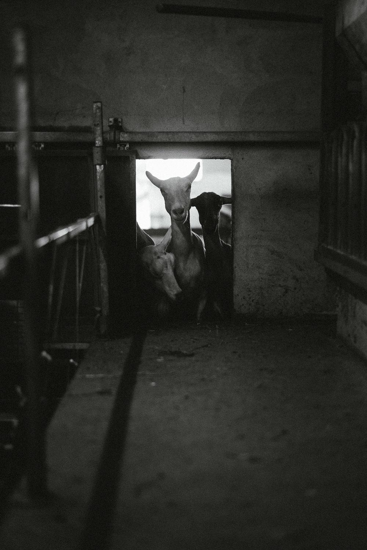 0015-reportage photo-ferme-fromage-la caprovine-20180817071556.jpg