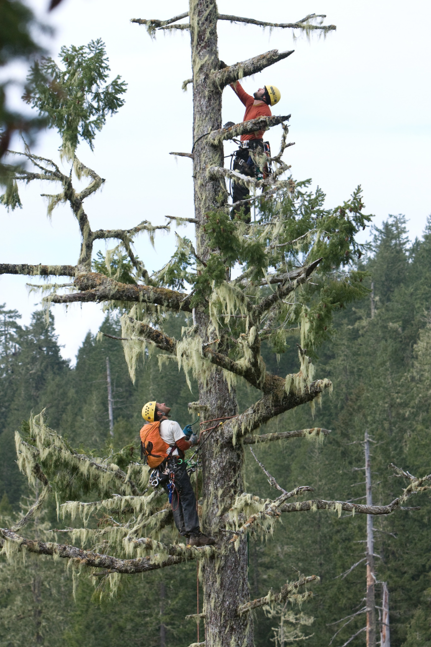 Brian French and Will Koomjian measuring the Brummit Fir in 2008. (Photo by Sean O'Conner)