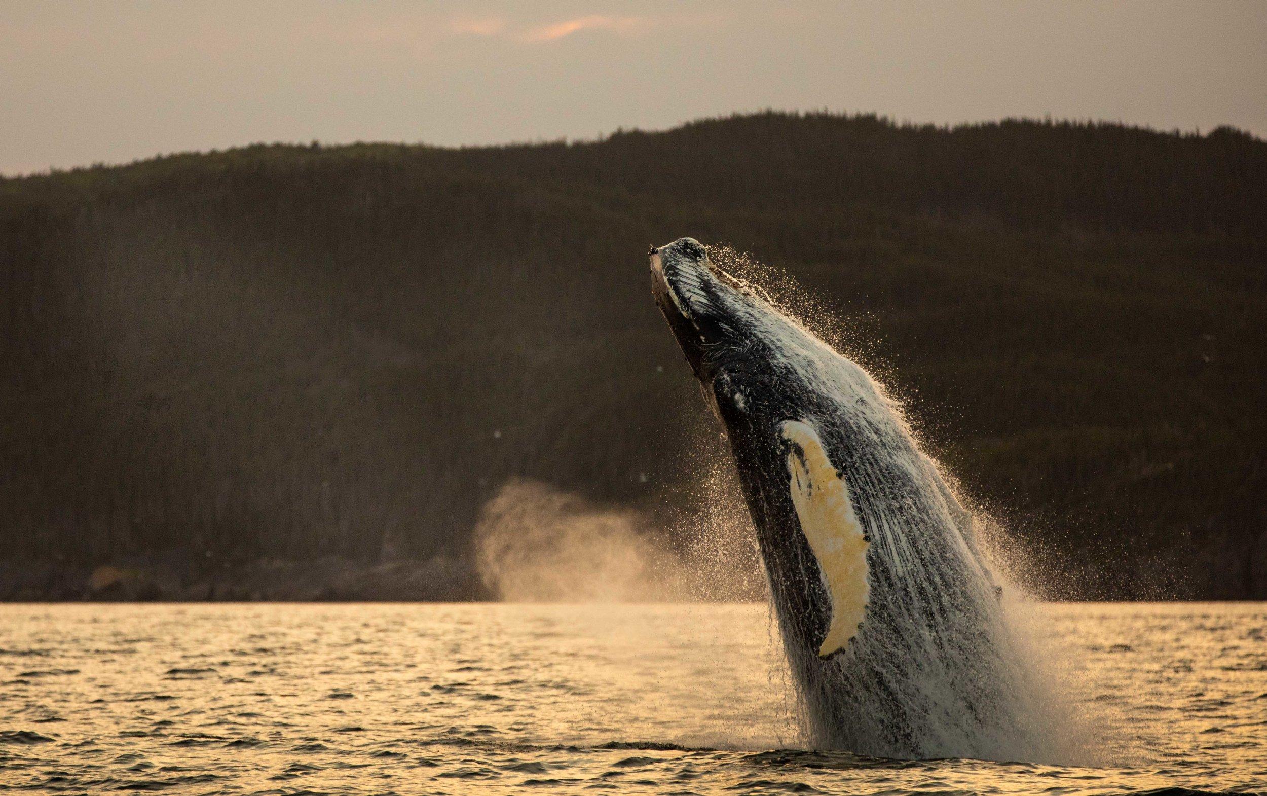 Whale Breaching (1 of 11).jpg