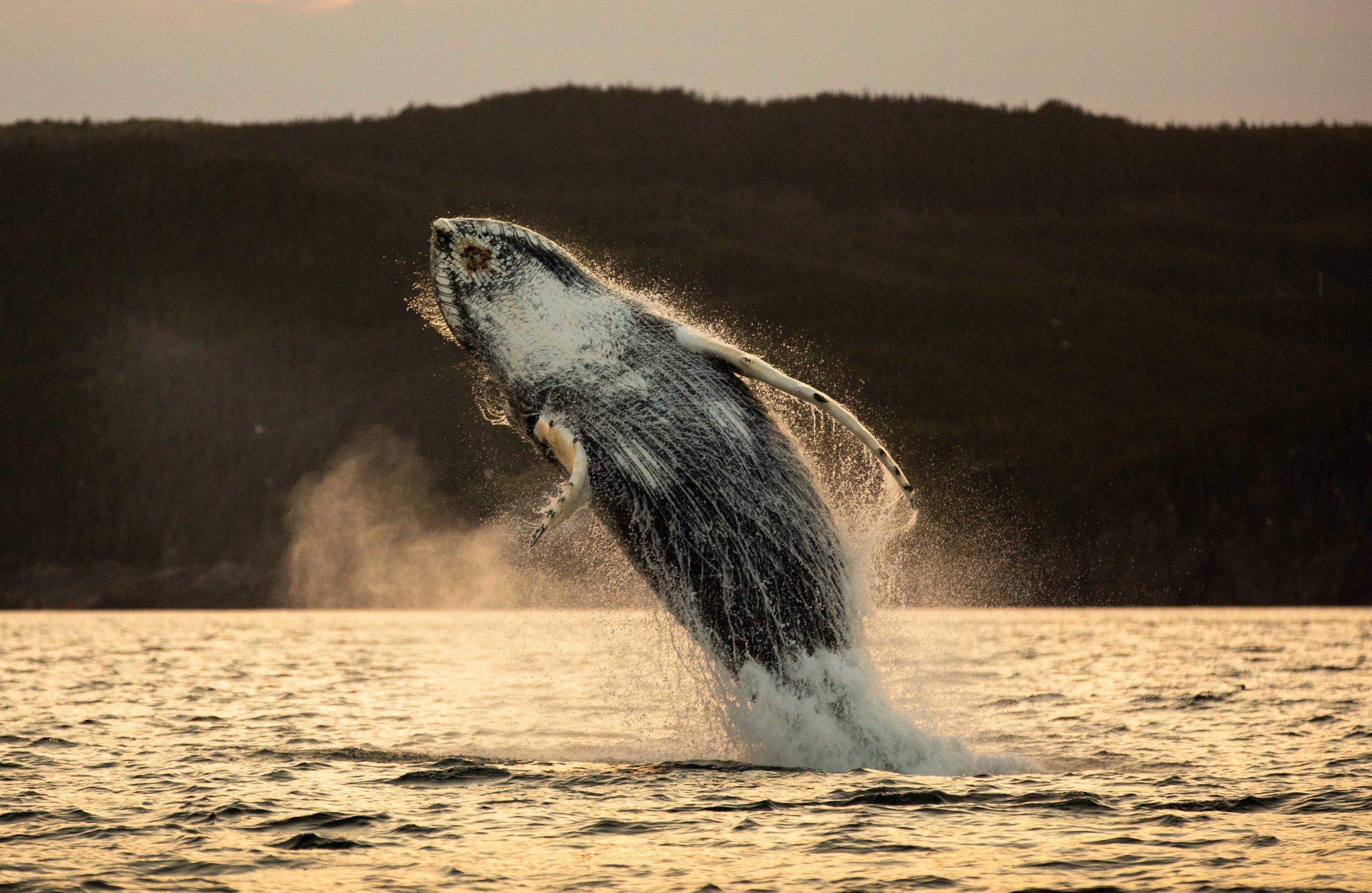Whale Breaching (3 of 11).jpg