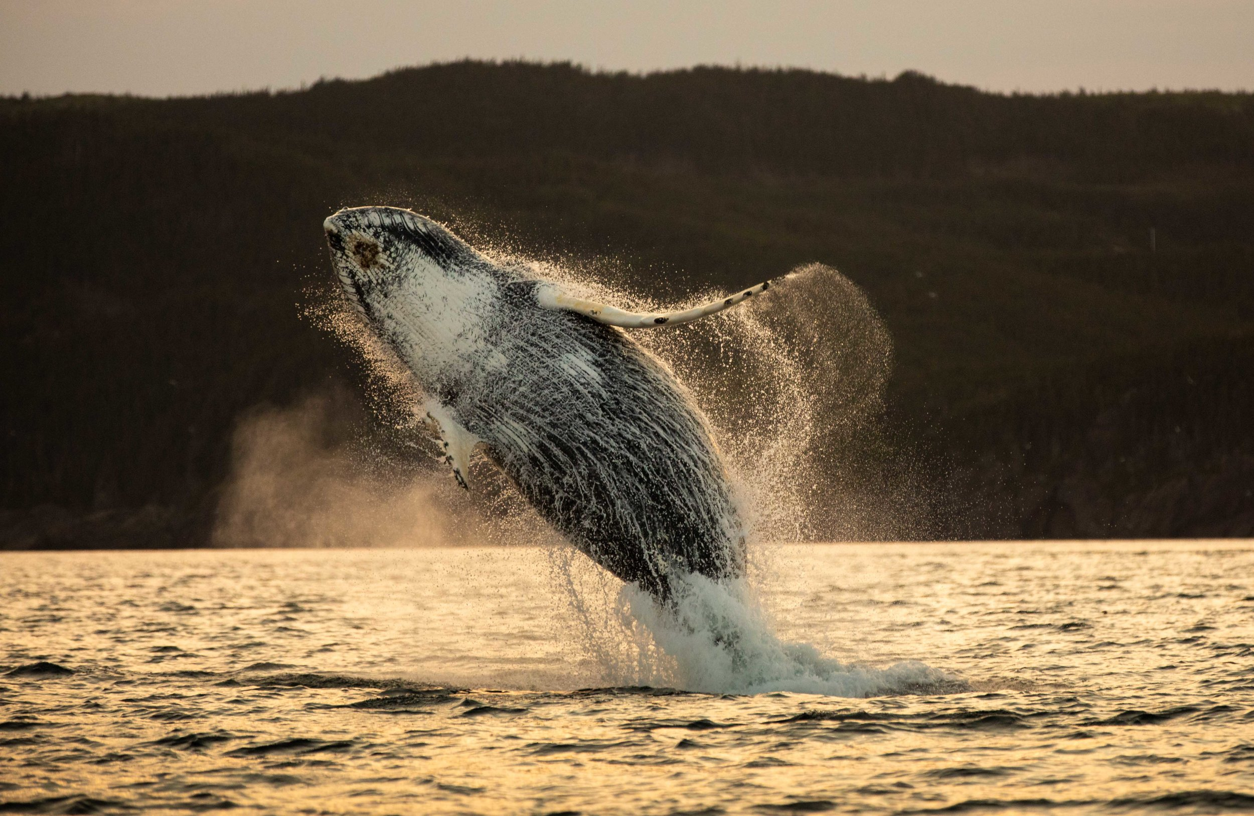 Whale Breaching (4 of 11).jpg