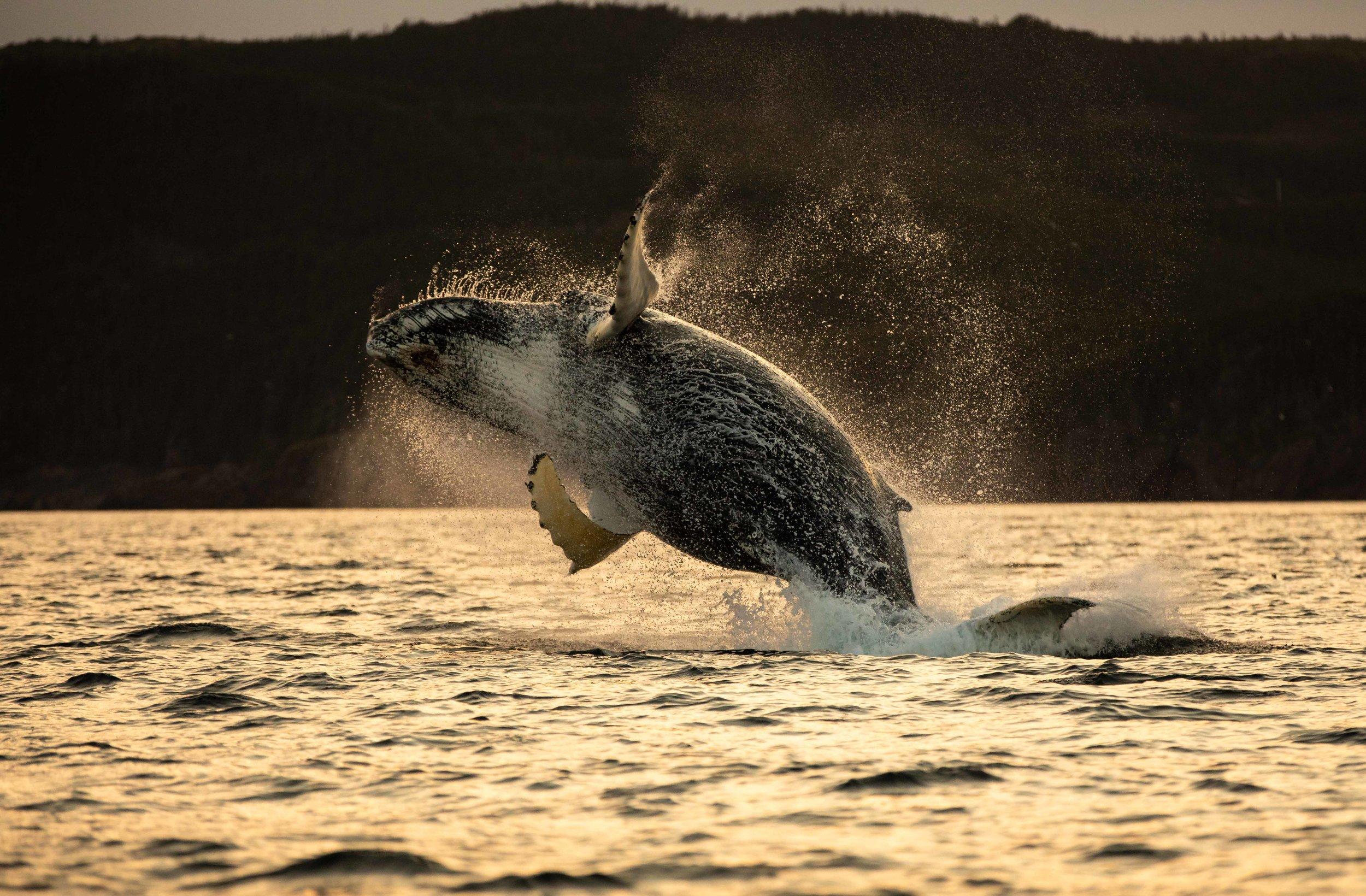 Whale Breaching (6 of 11).jpg