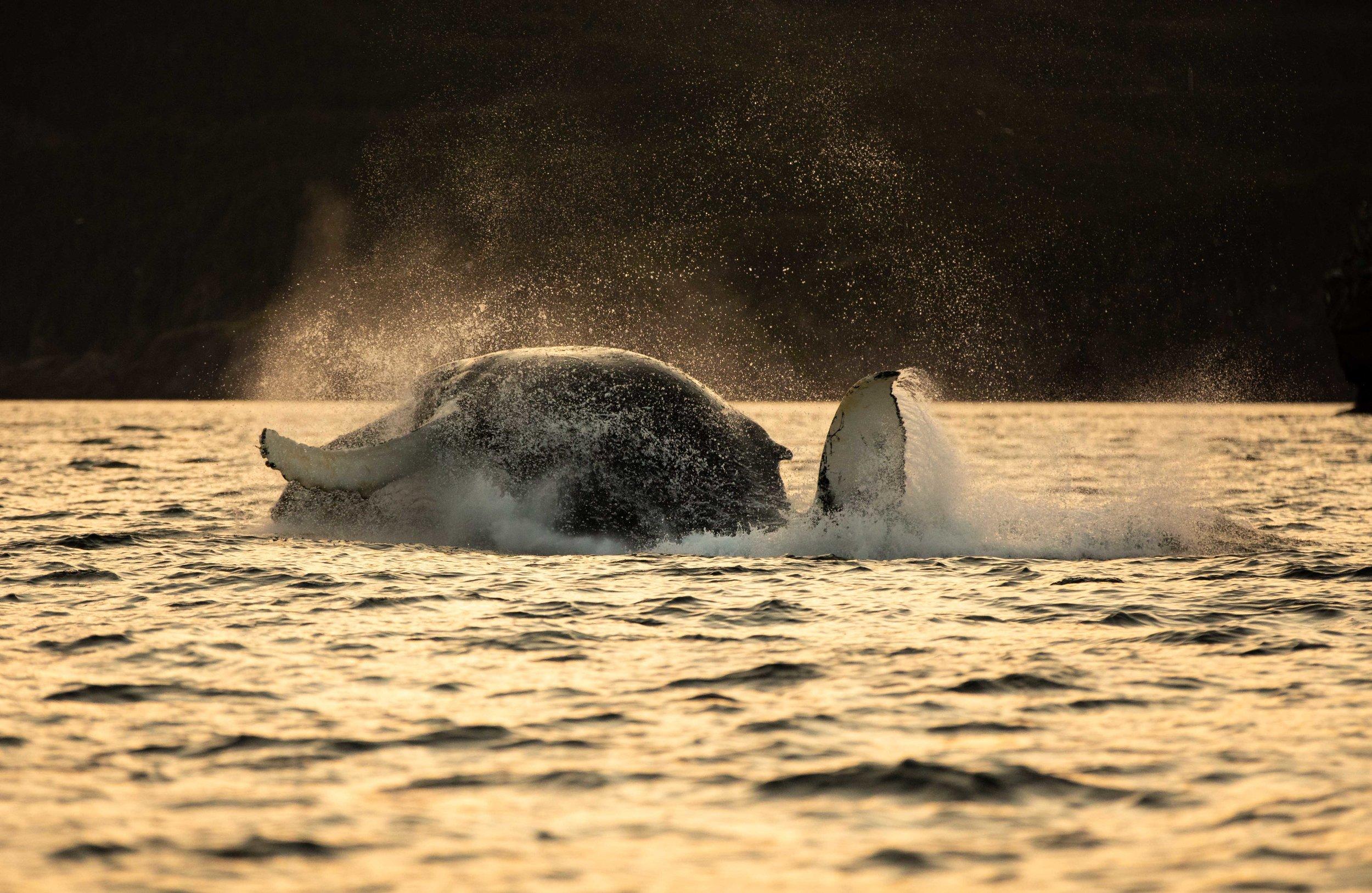 Whale Breaching (8 of 11).jpg