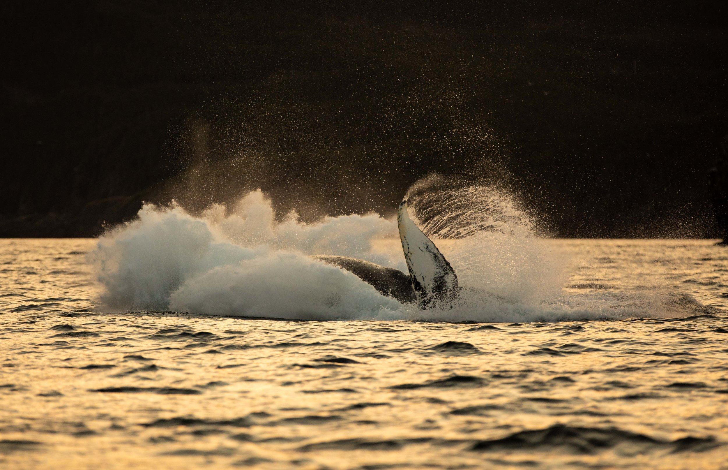 Whale Breaching (9 of 11).jpg