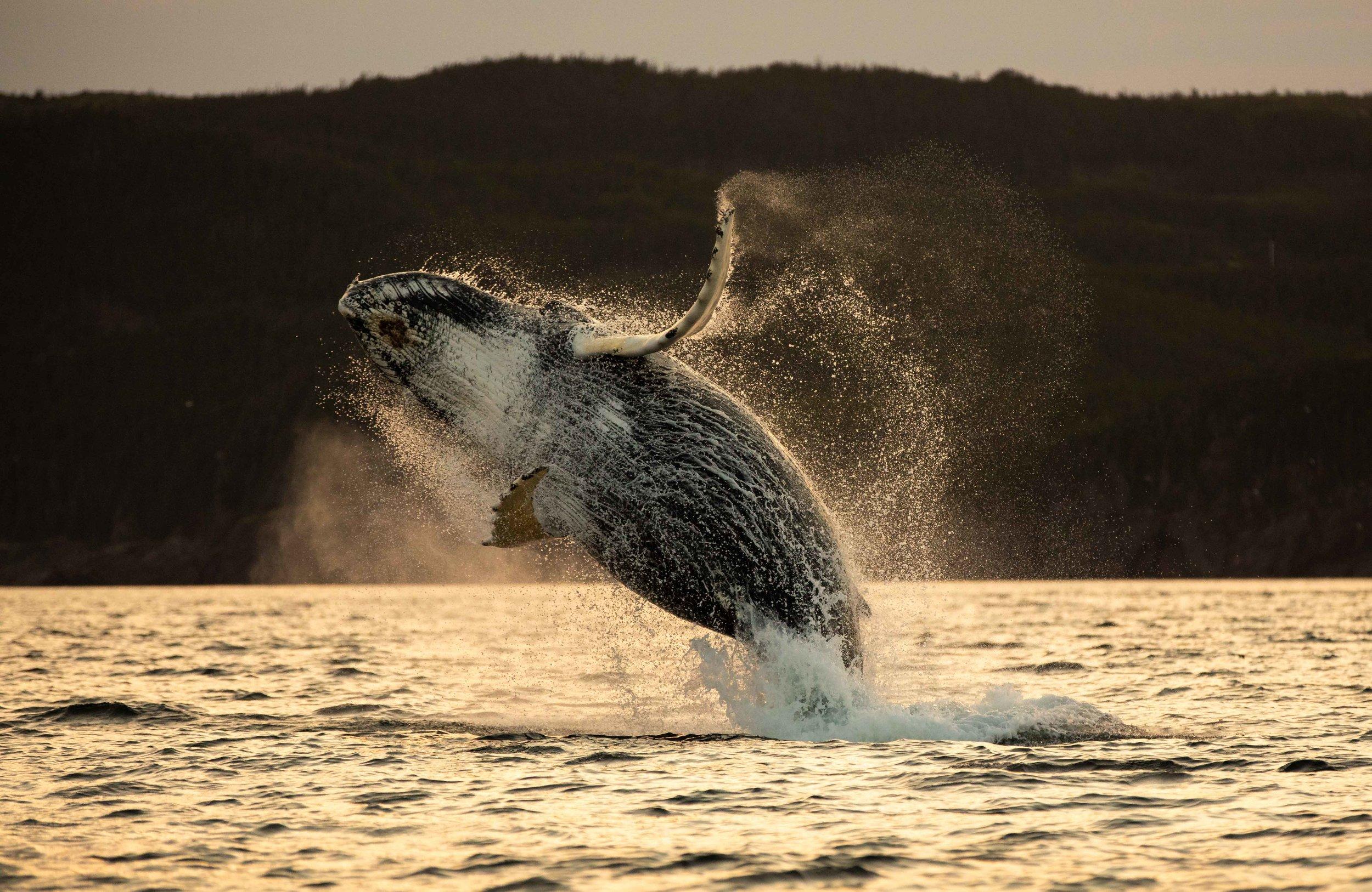 Whale Breaching (5 of 11).jpg