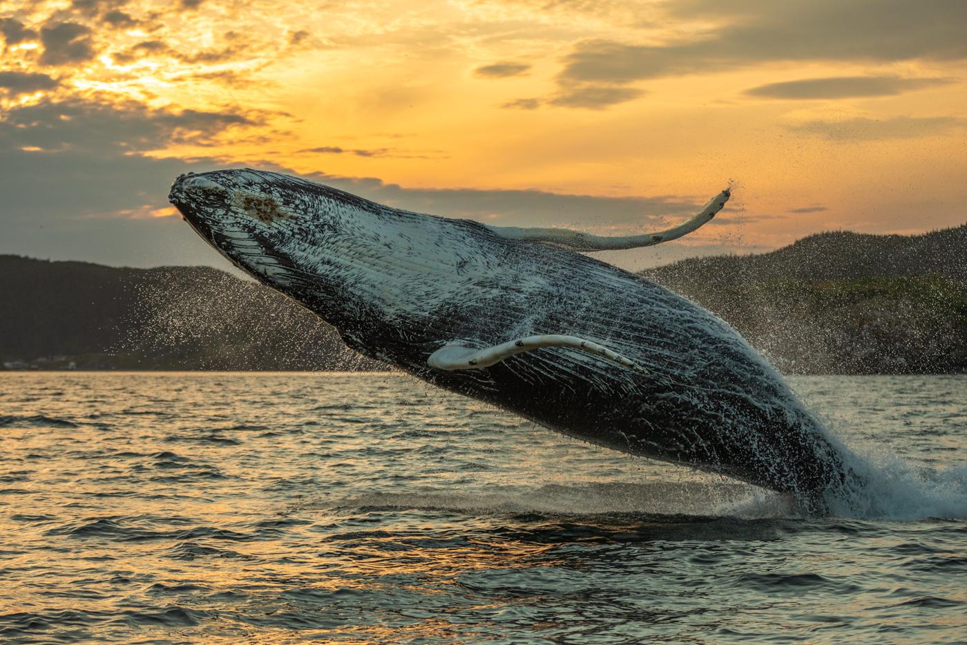 Humpback-Whale-Breach-Two.jpg