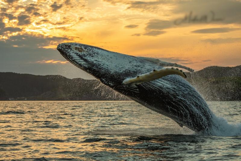 Humpback-Whale-Breach-One.jpg