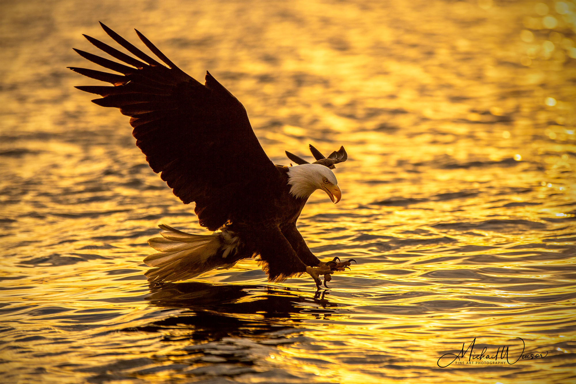 Bald-Eagle-Golden.jpg