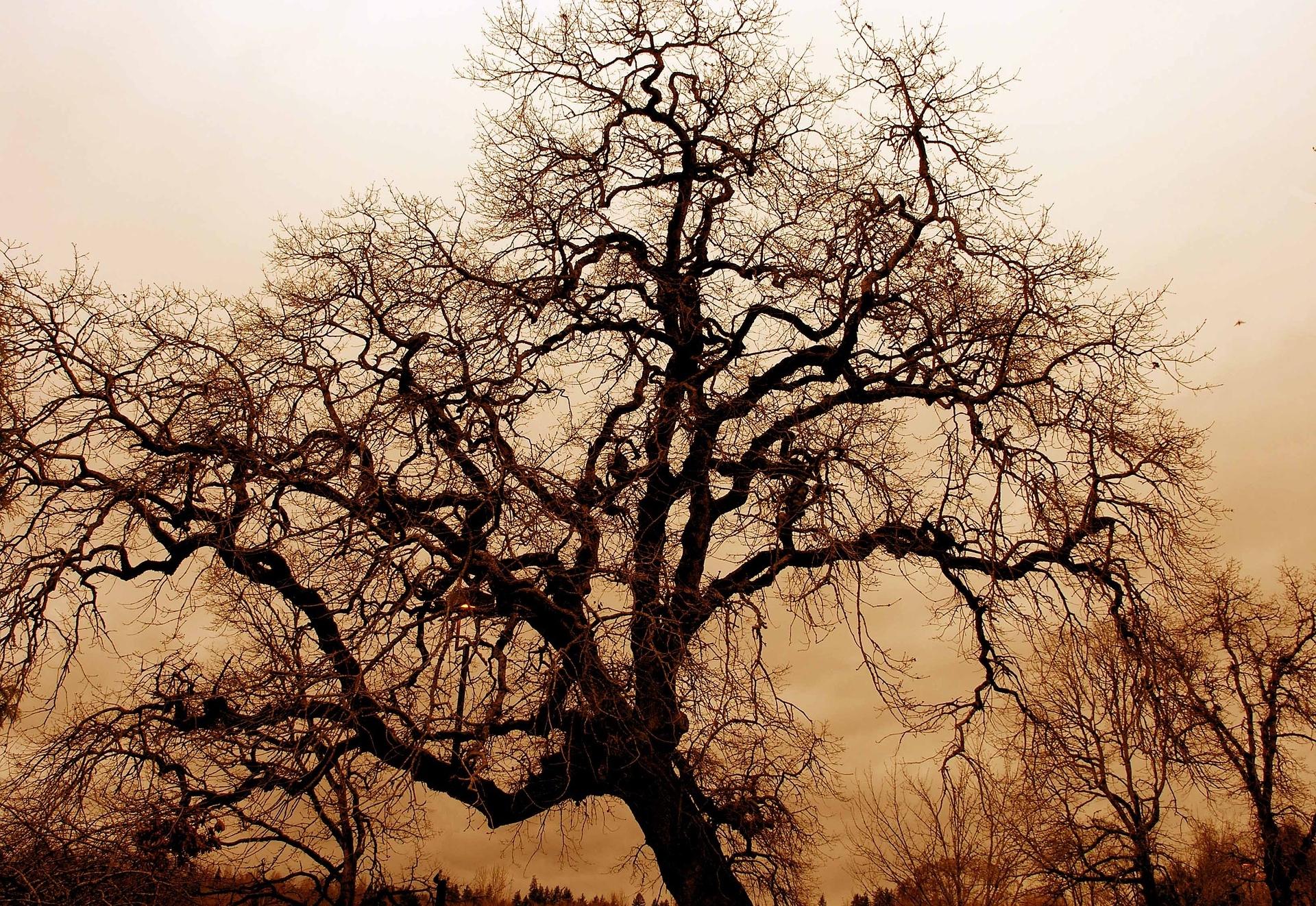 gnarled-old-oak-1166907_1920.jpg