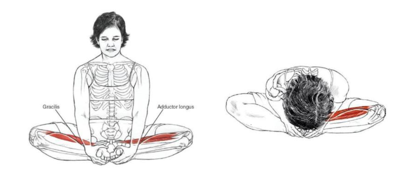 蝴蝶式肌肉  伸展展示。   圖本來源: Yoga Anatomy-2nd Edition